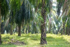 Palm oil plantation at Asia. royalty free stock image