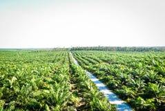 Palm oil plantation Stock Photo