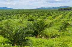 Palm oil plantation. At Malaysia, Asia Royalty Free Stock Image