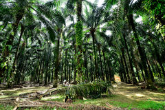 Palm oil plantation in Malaysia. Royalty Free Stock Photos