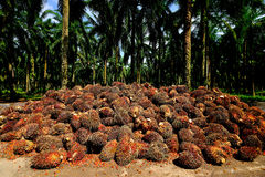 A palm oil plantation in Malaysia. Stock Images