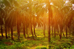A palm oil plantation in Malaysia. In 2012, Malaysia, the world's second largest producer of palm oil, produced 18.79 million tonnes of crude palm oil on stock photography