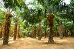 Palm Oil Plantation Royalty Free Stock Image