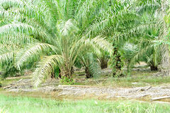 Palm oil plantation. Palm oil trees in Johor Malaysia Royalty Free Stock Images