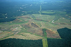 Palm oil plantations Royalty Free Stock Photo