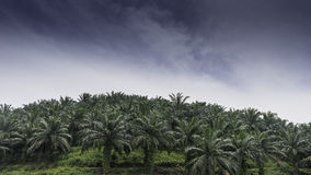 Palm oil plantations Royalty Free Stock Images