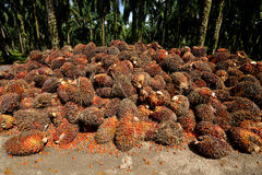Palm oil production in Malaysia. Stock Image