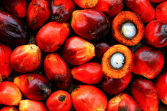 Palm Oil Seed. With seed structure Stock Images