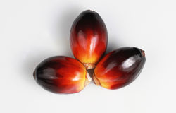 Palm Oil Seed Royalty Free Stock Photo