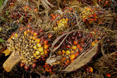 Palm Oil seed. For oil production Royalty Free Stock Photo