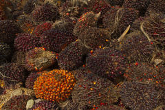 Palm Oil seeds, Renewable energy Royalty Free Stock Photography