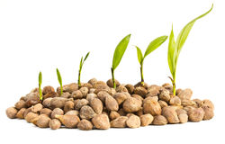Palm oil seeds and seedlings. Royalty Free Stock Photo