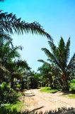 Palm Oil Tree Stock Photography
