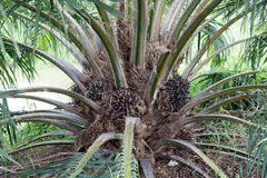 Palm oil tree, agriculture industrial and bioenergy. Royalty Free Stock Images