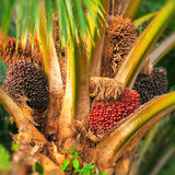 Palm Oil Tree. Palm oil is an edible vegetable oil derived from the mesocarp (reddish pulp) of the fruit of the oil palms, primarily the African oil palm Elaeis Royalty Free Stock Images