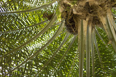 Palm Oil Tree Royalty Free Stock Image