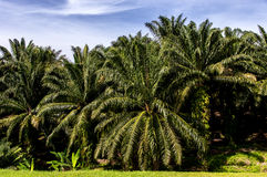 Palm oil tree Stock Images