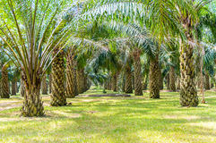 Palm oil tree Stock Photos