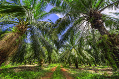 Palm oil tree plantation Stock Photography