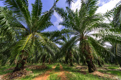 Palm oil tree plantation Royalty Free Stock Photos