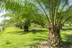 Palm oil tree Royalty Free Stock Photos