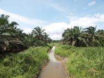 Palm oil trees landscape Stock Photos