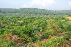 Palm oil trees in palm oil estate plantation Stock Photography