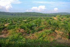 Palm oil trees in palm oil estate plantation Stock Photos