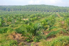 Palm oil trees in palm oil estate plantation Stock Photo