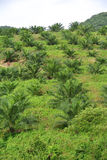 Palm oil trees in palm oil plantation estate Stock Photos