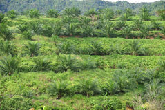 Palm oil trees in palm oil plantation estate Royalty Free Stock Photo