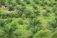 Palm oil trees in palm oil plantation estate Stock Image