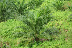 Palm oil trees in palm oil plantation estate Royalty Free Stock Image