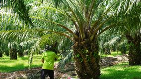 Palm oil was being stabbed branched Stock Photo