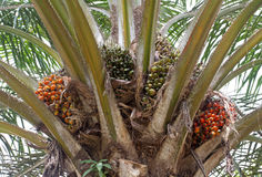 Palm oil, a well-balanced healthy edible oil Royalty Free Stock Image