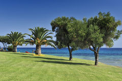Palm and olive trees. On the Halkidiki - Greece Royalty Free Stock Photography
