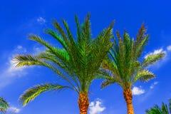 Palm op blauwe hemel Stock Foto's