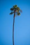 Palm op blauwe hemel Stock Foto