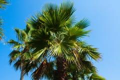 Palm op de achtergrond van de blehemel De zonnige dag van de zomer Stock Foto's