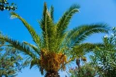 Palm op de achtergrond van de blehemel De zonnige dag van de zomer Royalty-vrije Stock Fotografie