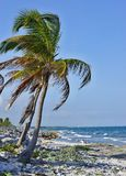 Palm op de steenachtige kust Stock Fotografie