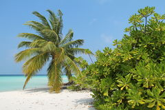 Palm op een strand, de Maldiven Royalty-vrije Stock Fotografie
