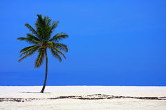 Palm op strand stock afbeelding