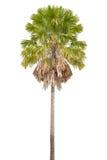 Palm op witte achtergrond Royalty-vrije Stock Afbeeldingen