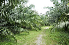 Palm Outdoor Farm Crop Way Royalty Free Stock Image