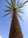 Palm in Ovalle, Chile Royalty Free Stock Image