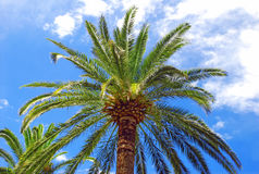 Palm over blue sky. Green palm tree top over blue sky Royalty Free Stock Image