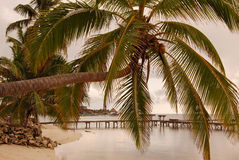 Palm over water at sunrise in Belize. Sunlrise on coast of Ambergris Caye, Belize with cloudy skies, pier, and palm stretching over water horizontally Royalty Free Stock Images