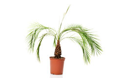 Palm plant in a brown pot Royalty Free Stock Photo