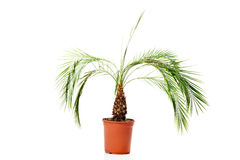 Palm plant in a brown pot Stock Image